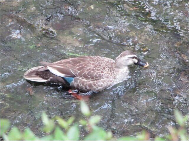 高瀬川で泳ぐ鳥